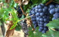 Change in climate and berry composition for grapevine varieties in the Loire Valley