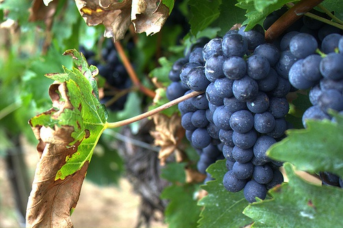 Grape production and wine quality in north-western Spain