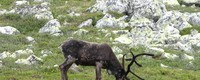 Robust strategies for reindeer management