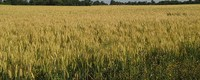 Climatic impacts on winter wheat yields in France and Russia