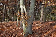 Climate change impact on European beech forest