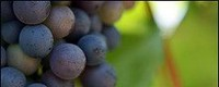Recent climate trends impacts on grape harvest date