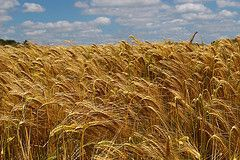 More frequent adverse weather conditions for European wheat production