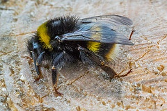 Climate change impacts on bumblebees converge across continents