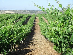 Vineyard soil erosion under climate change in the Mediterranean