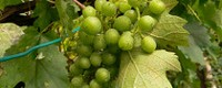 Climate warming good news for wine grapes cultivation in Poland, Germany and the Czech Republic