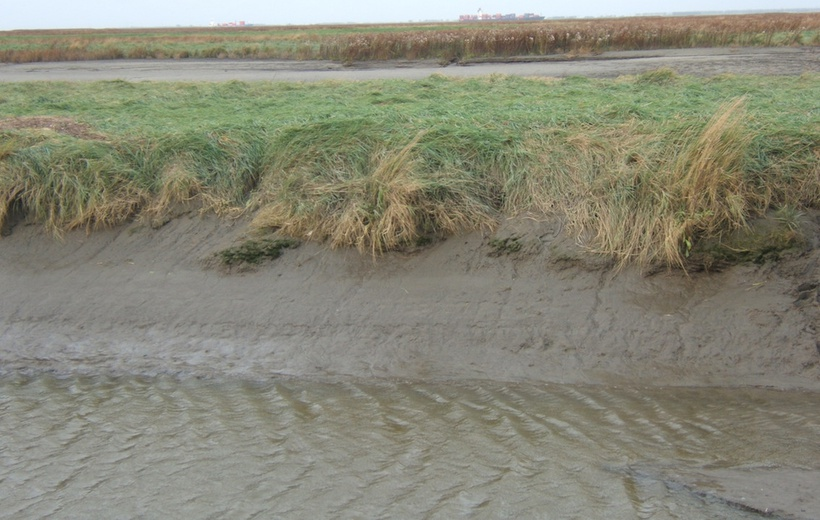 Salt marshes will survive sea level rise