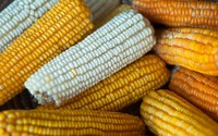 Global warming will reduce global yields of maize and soybean