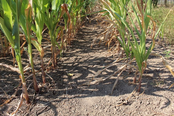 expansion of biofuel crops may be more disruptive to food production than climate change itself
